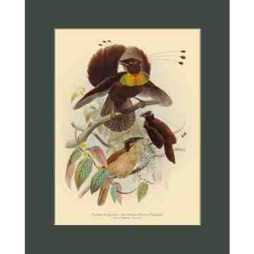 Old East Indies Six-plumed Bird of Paradise - Year 1873 Cardboard Frame