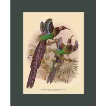 Old East Indies Elliot's Bird of Paradise - Year 1873  Cardboard Frame