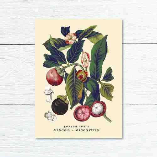 Old East Indies Greeting Card Mangosteen - Manggis