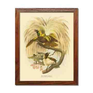 Old East Indies Frame Lesser Bird of Paradise - Year 1873