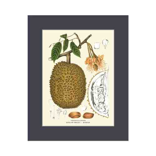 Old East Indies Durian - King of Fruits Cardboard Frame