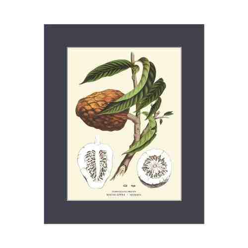 Old East Indies Sugar Apple - Srikaya Cardboard Frame