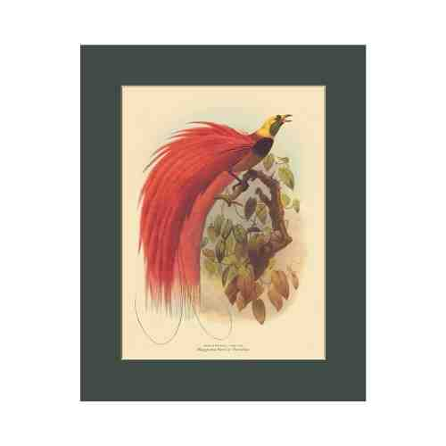 Old East Indies Raggiana Bird of Paradise - Year 1873 Cardboard Frame