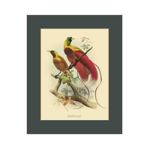 Old East Indies Red Bird of Paradise - Year 1873 Cardboard Frame