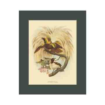 Old East Indies Lesser Bird of Paradise - Year 1873 Cardboard Frame