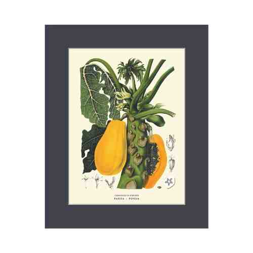 Old East Indies Papaya - Pepaya Cardboard Frame